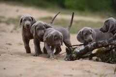 2 собаки Weimaraners litte в природе Стоковая Фотография
