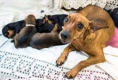 Собак-мама с ее щенятами Стоковое Фото