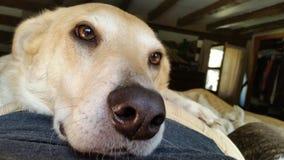 Собак-утомленный Стоковое Изображение
