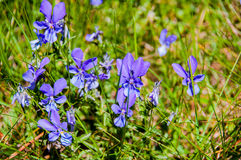 Собак-фиолетовый Стоковые Фотографии RF