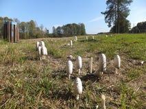 Собачий гриб пластинчатого гриба (comatus чернильного гриба) Стоковая Фотография RF