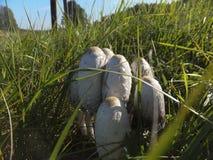 Собачий гриб пластинчатого гриба (comatus чернильного гриба) Стоковая Фотография
