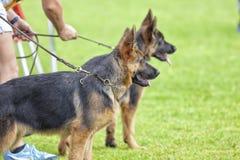 Собачье состязание Стоковое Фото