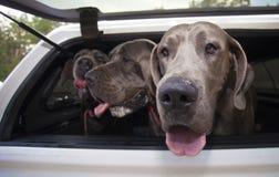 Собачья поездка Стоковое Изображение RF