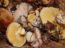 Соберите грибы в стране Стоковые Фото