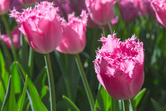 Соберите и закройте вверх тюльпанов пинка окаимленных розой красивых растя в саде стоковые изображения rf