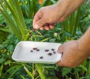 Соберите малые шарики которые вырастите на стержнях для группы в составе размножения Стоковое Изображение RF