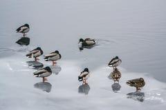 Соберите уток на льде в реке в зиме II Стоковые Изображения