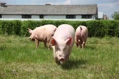Соберите фото молодых поросят наслаждаясь солнечностью на зеленой траве Стоковые Фотографии RF
