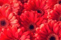 Соберите gerberas od красные, фотографию макроса и зацветите предпосылка стоковые изображения rf