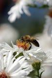 соберите pollination Стоковое Фото