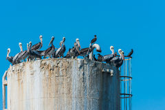 Собирайтесь пеликаны на побережье Piura Перу буровой вышки перуанском стоковые фотографии rf