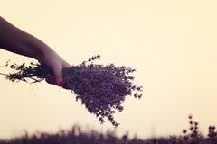 Собирать букет лаванды Рука девушки держа букет свежей лаванды в поле лаванды Солнце, помох солнца, слепимость Фиолетовое олово Стоковые Фотографии RF