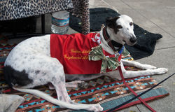 собирать волонтера дег борзой собаки Стоковые Изображения