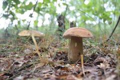 собирать грибы Звероловство гриба Собирать одичалые грибы Подосиновик edulis или плюшка пенни, CEP, porcino, porcini Стоковые Изображения