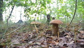 собирать грибы Звероловство гриба Собирать одичалые грибы Подосиновик edulis или плюшка пенни, CEP, porcino, porcini Стоковые Изображения RF