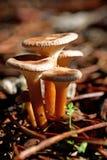 собирать грибы Стоковое Изображение RF