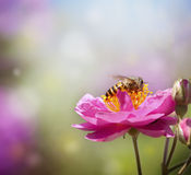 собирать мед Стоковое Фото