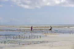 Собирать морскую водоросль, пляж Uroa, Занзибар, Танзания Стоковое Изображение