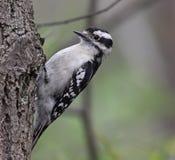 Собирать пуховый Woodpecker Стоковое Фото