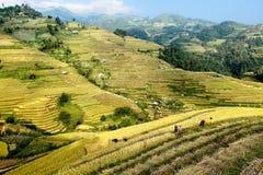 Собирать рис на террасных полях Стоковые Фото