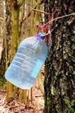 Собирать сок березы Стоковое Фото
