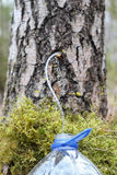 Собирать сок от дерева березы Стоковое Фото