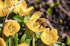собирать цветень honeybee стоковые изображения