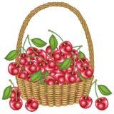 Собрал великодушную корзину сбора a вполне зрелых сочных ягод Свежая красивая красная вишня, источник витаминов и удовольствие иллюстрация вектора