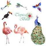 Собрание акварели тропических птиц изолированных на белой предпосылке стоковое изображение rf