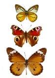 собрание бабочек Стоковые Изображения RF