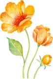 Собрание вектора флористическое желтых цветков акварель Стоковое Фото