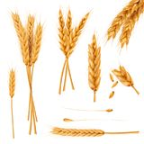 Собрание векторов ушей и семян пшеницы реалистическое иллюстрация вектора