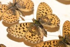Собрание викторианских бабочек Стоковое фото RF