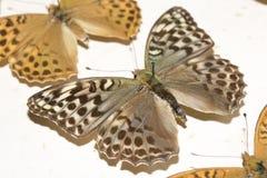Собрание викторианских бабочек Стоковая Фотография RF
