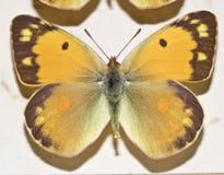 Собрание викторианских бабочек Стоковое Изображение