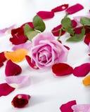 Собрание лепестков розы с розовым подняло на верхнюю часть Стоковое Изображение RF