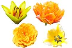 Собрание желтых цветков, изолированное на белой предпосылке Стоковые Фото