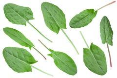 Собрание лист щавеля vegetable Стоковые Фото