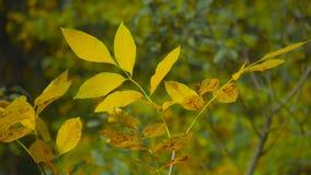 Собрание красивых красочных листьев осени зеленеет, желтеет, апельсин, красный желтый цвет листьев осени видеоматериал