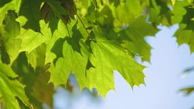 Собрание красивых красочных листьев осени зеленеет, желтеет, апельсин, красный желтый цвет листьев осени сток-видео