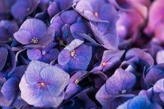 Собрание красивых фиолетов пурпура цветения Стоковая Фотография RF