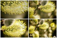 Собрание красивых Catkins цветет в весеннем времени r стоковые изображения rf