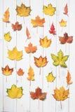 Собрание красочных листьев клена Стоковое Изображение RF