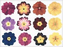 Собрание красочных первоцветов изолировало ретро винтажный стиль Стоковая Фотография RF