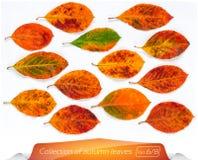 Собрание листьев в реальном маштабе времени желтого коричневого цвета ярких в точках Комплект листьев осени на белой предпосылке  Стоковое Изображение