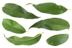 Собрание лист персика на белизне Стоковые Изображения RF