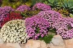 Собрание маргариток Osteospermum африканских в саде Стоковые Фотографии RF
