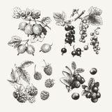 Собрание нарисованное чернилами ягод Стоковое Фото