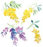 Собрание покрашенных элементов акварели флористических Цветки глицинии с раскрывать зеленую предпосылку Стоковые Изображения RF